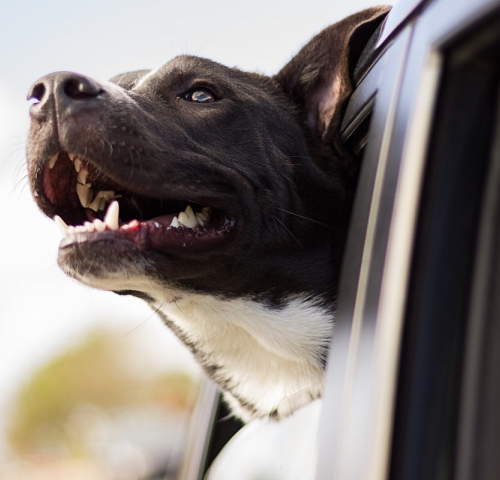 Tips for dog safe car travel with McCann Professional Dog Trainers
